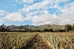 SugarLoaf Pineapple