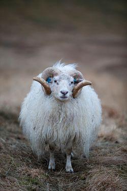 Icelandic Sheep Portrait